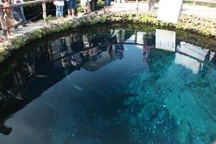 忍野八海の池の写真素材 [FYI00429009]