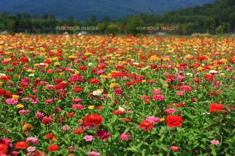 ヒャクニチソウ畑の写真素材 [FYI00429031]