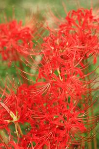 真っ赤な彼岸花の写真素材 [FYI00429037]