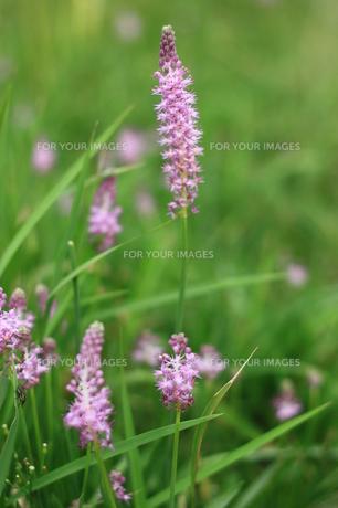 紫色の野花の写真素材 [FYI00429049]