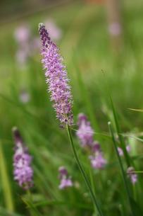 紫色の野花の写真素材 [FYI00429058]