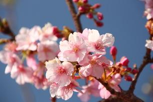 河津桜の写真素材 [FYI00429064]