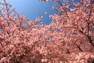 満開の河津桜の写真素材 [FYI00429066]