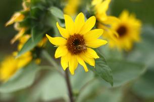 ひまわりと蜜蜂の写真素材 [FYI00429074]