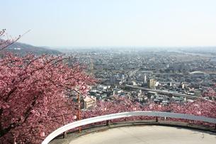 河津桜に囲まれた山道の写真素材 [FYI00429075]