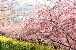 河津桜と菜の花の写真素材 [FYI00429078]