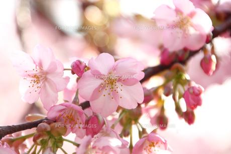 河津桜の写真素材 [FYI00429081]