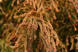 杉の花粉の写真素材 [FYI00429099]