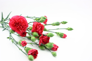 カーネーションの花束の写真素材 [FYI00429102]