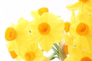 黄色の日本水仙の写真素材 [FYI00429105]