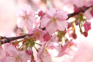 河津桜の花の写真素材 [FYI00429107]