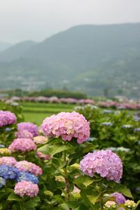 田んぼ沿いの紫陽花並木の写真素材 [FYI00429108]