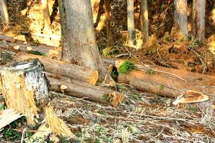スギの樹伐採の写真素材 [FYI00429109]
