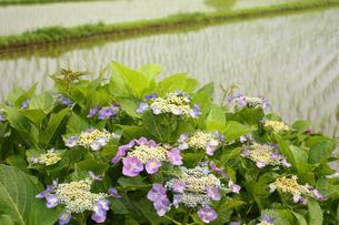 田んぼと紫陽花の写真素材 [FYI00429117]