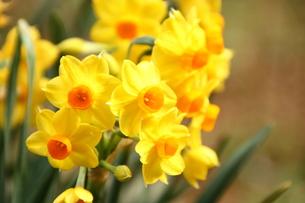 黄色の日本水仙の写真素材 [FYI00429124]