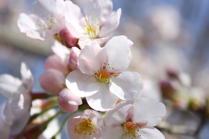 やわらかなソメイヨシノの花の写真素材 [FYI00429165]