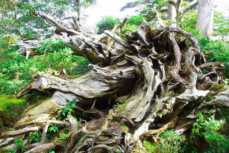 屋久島の枯れ木の写真素材 [FYI00429375]