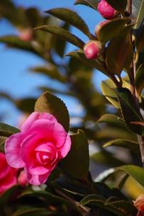 椿の花の写真素材 [FYI00429388]