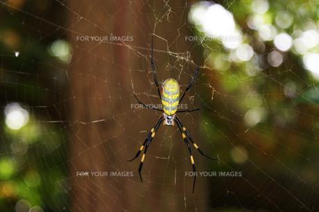 大きな蜘蛛と巣の写真素材 [FYI00429459]