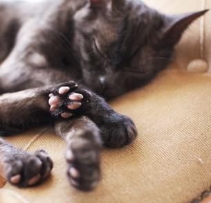 猫の肉球の写真素材 [FYI00429540]