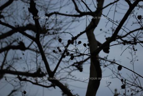 葉の落ちた木 小さな木の実の写真素材 [FYI00429590]