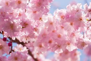 日本の桜の花びらの写真素材 [FYI00429705]
