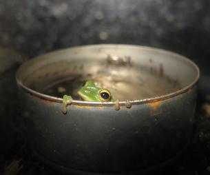 シュレーゲルアオガエルの缶詰の写真素材 [FYI00429724]