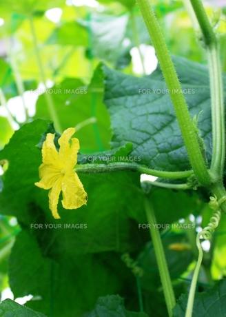 きゅうりの花の写真素材 [FYI00429738]
