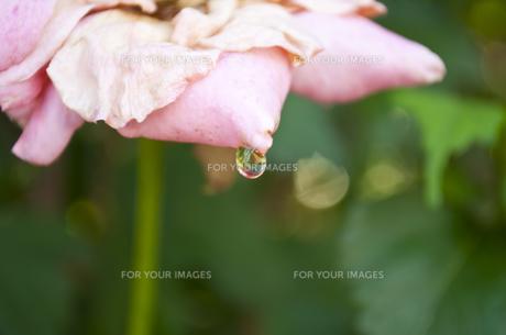 薔薇の花のしずくの素材 [FYI00429776]