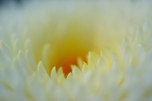 菊の写真素材 [FYI00429838]