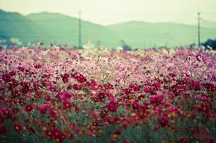 コスモス畑の素材 [FYI00429925]