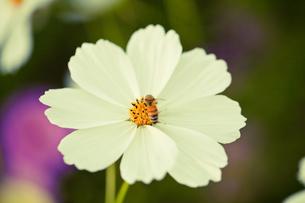 白いコスモス蜂の受粉の写真素材 [FYI00429929]