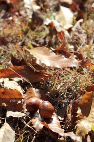 ドングリと落ち葉の素材 [FYI00429975]