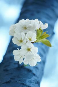 桜の素材 [FYI00429982]