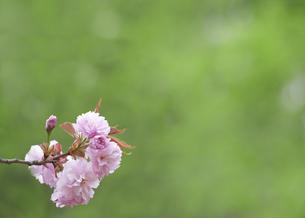 花の素材 [FYI00430016]