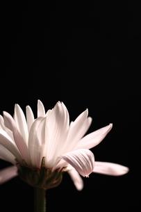 白い小菊の写真素材 [FYI00430058]