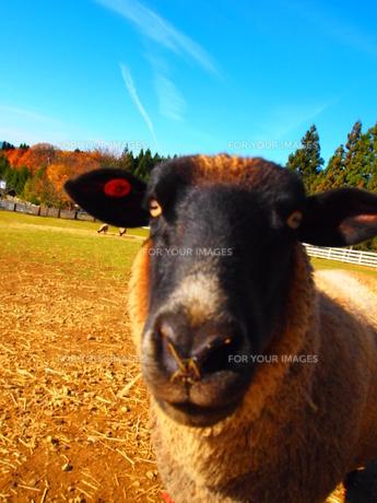 のっぉ。って感じの羊の写真素材 [FYI00430086]