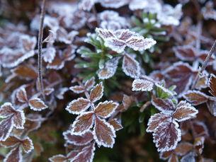 凍り付いた葉っぱの写真素材 [FYI00430175]