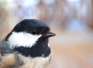 小鳥の横顔の素材 [FYI00430262]