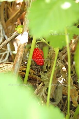 森で見つけた、ワイルドストロベリーの素材 [FYI00430288]