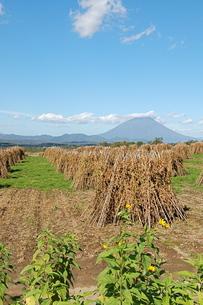 収穫を迎える、豆畑の写真素材 [FYI00430380]