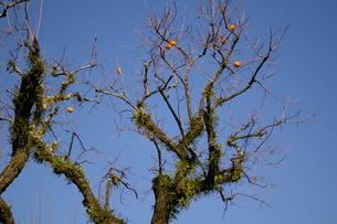 柿の木の写真素材 [FYI00430449]
