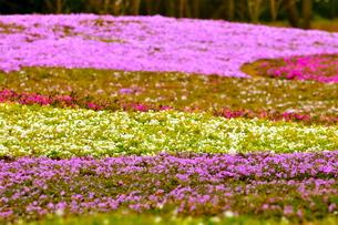 芝桜の写真素材 [FYI00430454]