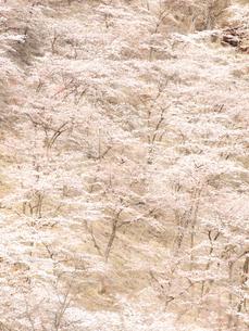 一面の桜の写真素材 [FYI00430511]
