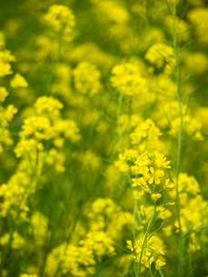 一面の菜の花の写真素材 [FYI00430512]