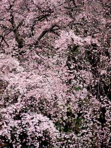 枝垂れ桜の写真素材 [FYI00430525]