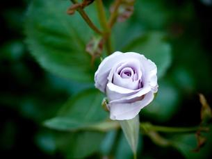 紫の薔薇の写真素材 [FYI00430528]