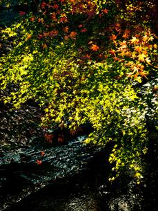 紅葉の色彩の写真素材 [FYI00430560]