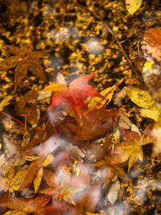 水に浮かぶ紅葉の写真素材 [FYI00430579]