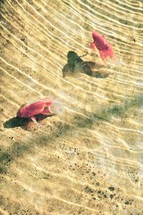 金魚の写真素材 [FYI00430591]